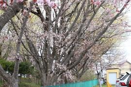 2021.4.30桜3.jpg